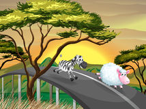 A zebra and a sheep running at the road Royalty Free Stock Photography
