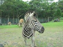 Zebra an Shizuoka-Park Japan Lizenzfreie Stockfotos