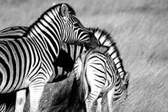 Zebra. A shot of a group of zebra in Namibia, Africa Royalty Free Stock Images