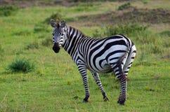 Zebra. A shot of a surprised zebra Stock Photo