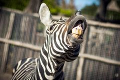 Zebra with yellow teeth. The zebra is showing his yellow teeth in camera, funny animal Royalty Free Stock Image