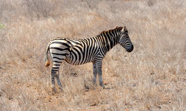 Zebra showing scares on hind quarter from fight with a preditor Stock Images