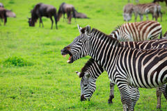 Zebra showing teeth Royalty Free Stock Images