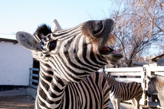 Zebra shows its teeth Royalty Free Stock Photo