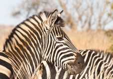 Zebra side profile Stock Image