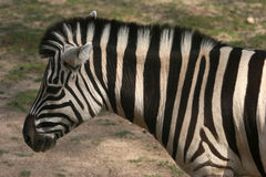 Zebra side profile Stock Photos