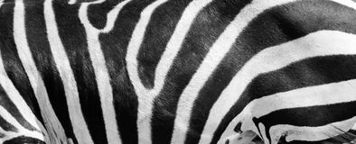 Zebra side in profile Royalty Free Stock Photos