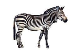 Zebra isolated on white background. Zebra, side view, isolated on white background by clipping path Royalty Free Stock Images