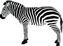 Zebra silhouette  Stock Image