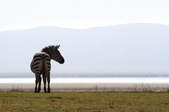 Zebra silhouette Royalty Free Stock Image