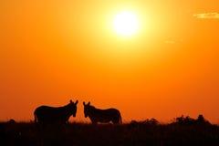 Zebra silhouettes Stock Photo