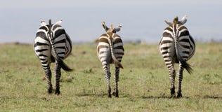 Zebra simmetrica nel Kenia fotografia stock libera da diritti