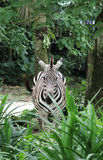 Zebra. Singapore -August 2016 A solitary zebra staring from behind green plants in the enclosure at the Singapore Zoo Royalty Free Stock Photography