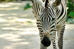 Zebra in Singapore Zoo Royalty Free Stock Images