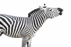 Zebra singing isolated over wh. Common (Plains or Burchell's) zebra looks like singing or laughing. Isolated on white  with clipping path Stock Photos
