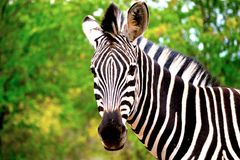 The Zebra Royalty Free Stock Photo