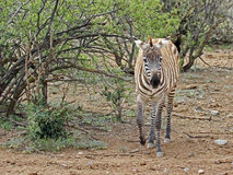 Zebra. Single Wild Zebra Walking Through Brush stock images