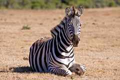 Zebra Sitting Stock Images