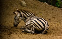Zebra sitting down on soil view from side space for text wild life.  Stock Photo