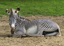 Zebra sitting in grass Royalty Free Stock Photography