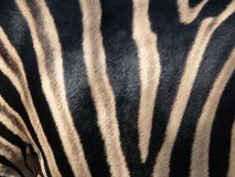 Zebra skin 1 Royalty Free Stock Photos