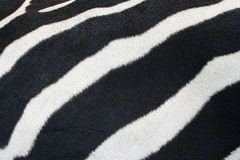 Zebra skin. Stock Photo
