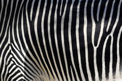 Zebra Skin. Black and white texture of zebra skin - equus grevyi Stock Image