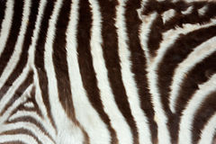 Zebra skin Royalty Free Stock Image