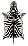 Zebra skin. Isolated entire tanned zebra skin Stock Image