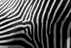 Zebra skin. Beautiful real zebra skin. Black and white stripes come from three directions and combine together very nicely. We can guess the animal behind Royalty Free Stock Photography