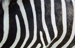 Zebra skin. Closeup of zebra skin Stock Photos