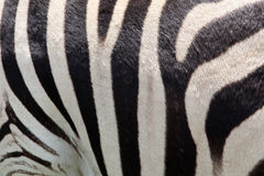 Zebra skin. Close-up of a zebra skin royalty free stock photo