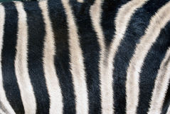 Zebra Skin Royalty Free Stock Photography
