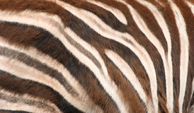 Zebra skin Stock Photography