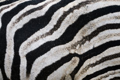 Zebra skin. Design black and white Stock Image