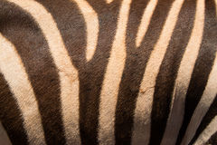 Zebra skin hide safari background Stock Photos