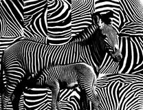 Zebra skin pattern. Stock Images