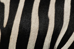 Zebra Skin Print Stock Photography