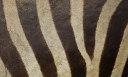 Zebra skin texture. Africa safari royalty free stock photography