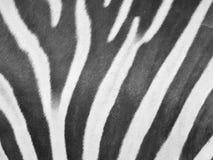 Zebra skin Royalty Free Stock Images