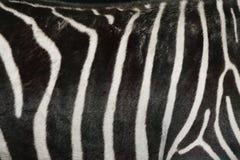 Zebra skin. Royalty Free Stock Photos