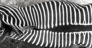 Zebra skin/texture Stock Photo