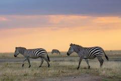 Zebra sky Stock Images