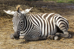 Zebra sleeping on the field royalty free stock photo