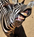 Zebra smile. Close up of a very happy zebra Stock Image