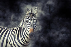 Zebra in smoke. Close up zebra in smoke on dark background Stock Photo