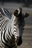 zebra smutna obrazy stock