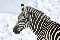 Zebra in sneeuw 2 Royalty-vrije Stock Foto's