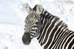 Zebra in sneeuw Royalty-vrije Stock Foto's