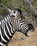 Zebra sneeze Royalty Free Stock Photos
